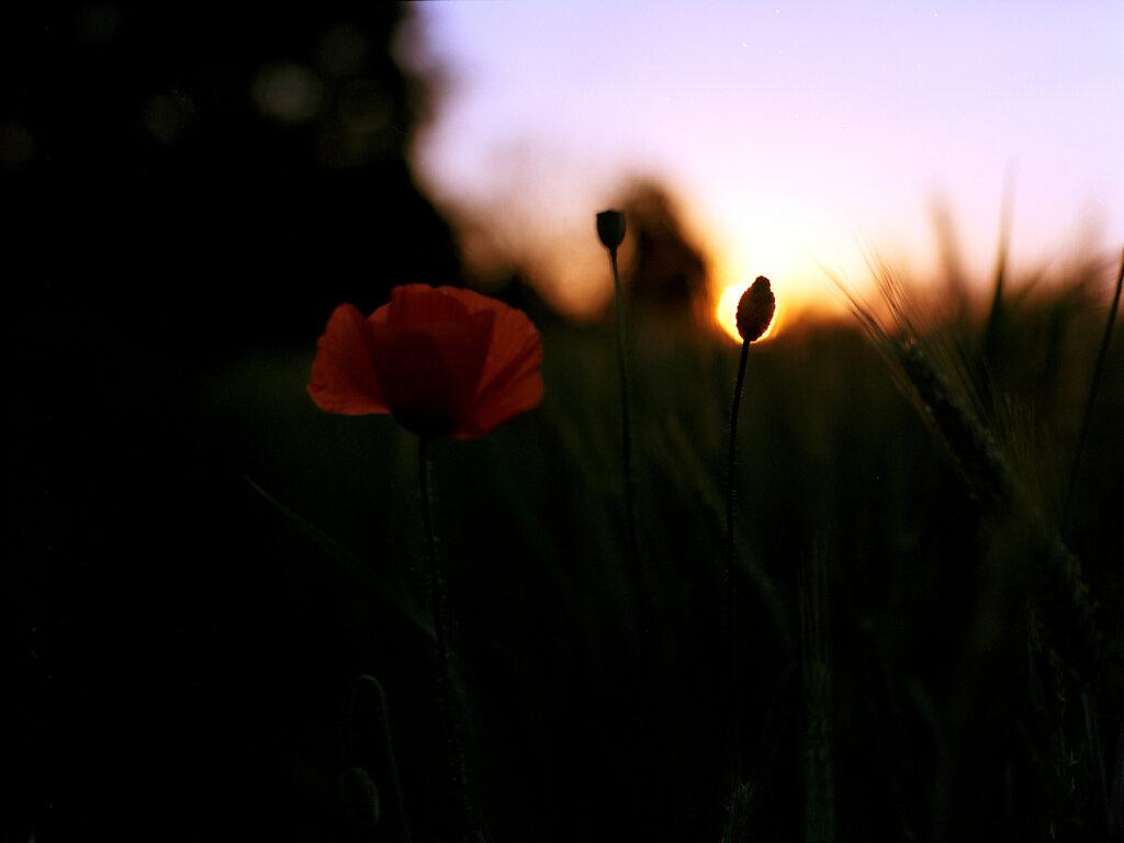 Mohn und Abendsonne
