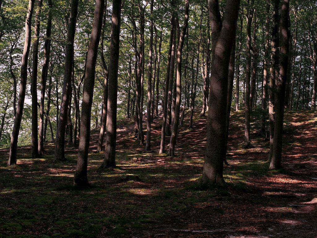 Rügener Buchenwald